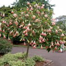 Pink Brugmansia Angel Trumpet Brugmansia suaveolens - 5 Seeds