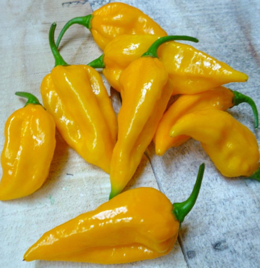 HOT! Fatalii Pepper Central Africa Heirloom Capsicum chinense - 15 Seeds