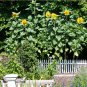 Organic 'Titan' Giant Sunflower Helianthus annuus - 30 Seeds