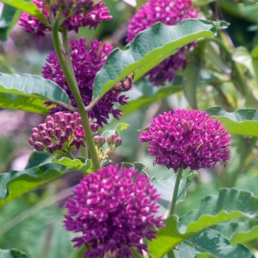 Rare Purple Milkweed Native Asclepias purpurascens - 10 Seeds