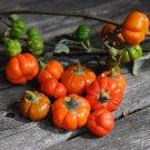 African Scarlet Eggplant 'Mock Tomato' Solanum aethiopicum - 20 Seeds