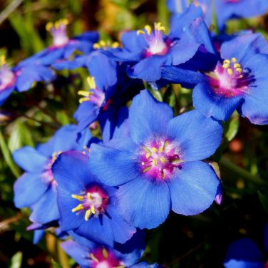Electric Blue Pimpernel Anagallis monelli - 100 Seeds