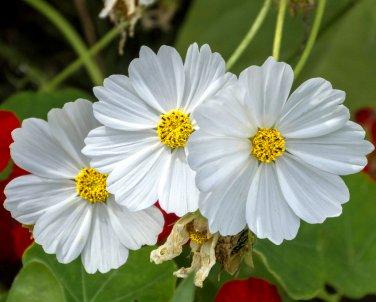 Snow White Cosmos bipinnatus - 100 Seeds