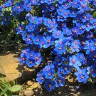 Fairy Garden Electric Blue Pimpernel Anagallis monelli - 100 Seeds