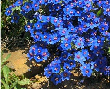 Fairy Garden Electric Blue Pimpernel Anagallis monelli - 100 Seeds