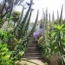 Rare Giant Tower of Jewels Pride of Tenerife Echium pininana - 10 Seeds