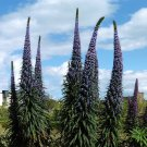 Rare Seussian Blue Tree Echium Giant Viper's Bugloss Echium pinnifolium - 10 Seeds