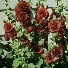 Tall Chocolate Hollyhock Brown Flower Alcea Rosea plena - 20 Seeds