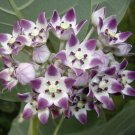 Tropical Milkweed Tree Asclepias Calotropis procera - 10 Seeds