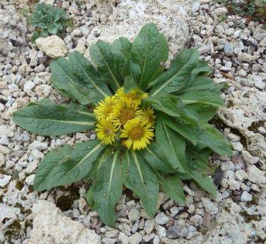 Rare Hardy Himalayan Sunflower Inula rhizocephala  - 30 Seeds