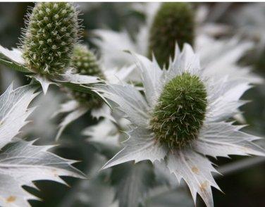 'Miss Willmott's Ghost' Eryngium giganteum - 20 Seeds