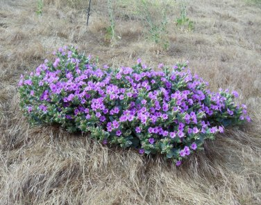 Rare Showy Desert Four O'Clock Mirabilis Multiflora - 8 Seeds