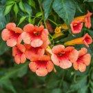 Hummingbird Trumpet Creeper Campsis radicans - 40 Seeds