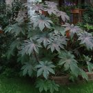 Fast Growing Annual Castor Bean Ricinus Communis - 8 Seeds
