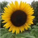 Organic Hopi Dye Heirloom Sunflower Helianthus annuus - 15 Seeds