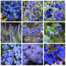 Moody Blues Monochromatic Blue Flower Seed Collection - 9 Varieties