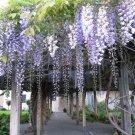 Japanese Wisteria Wisteria floribunda - 5 Seeds