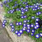 Blue Dwarf Morning Glory Convolvulus tricolor - 30 Seeds