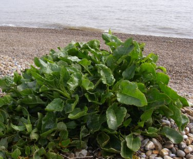Rare Ancient Heirloom Wild Sea Beet Beta vulgaris maritima - 10 Seeds