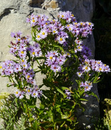 Rare Edible Wild Sea Aster Tripolium pannonicum - 20 Seeds
