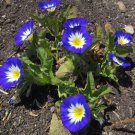 Fairy Garden Blue Dwarf Morning Glory Convolvulus tricolor minor - 30 Seeds