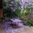 Stunning Brazilian Rose Wood Jacaranda Mimosifolia - 20 Seeds