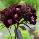 Dark Chocolate Sweet William Dianthus barbatus nigrescens - 30 Seeds