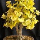 Maidenhair Fossil Tree Gingko Ginkgo Biloba - 30 Fresh Seeds