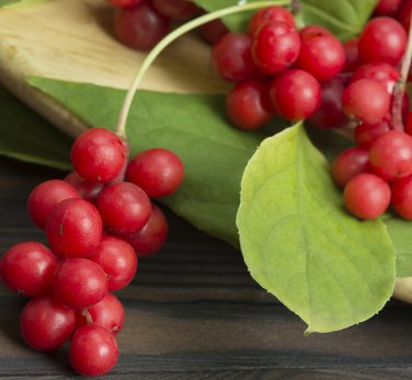 Wu Wei Zi Five-Flavor-Fruit Schisandra chinensis - 10 Seeds