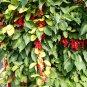 Five-Flavor-Fruit Schisandra chinensis - 10 Seeds