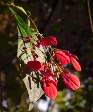 American Mussaenda Pogonopus speciosus - 20 Seeds