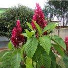 Rare Brazilian Red Cloak Megaskepasma erythrochlamys - 5 Seed