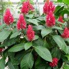Rare Brazilian Red Plume Megaskepasma erythrochlamys -  5 Seeds