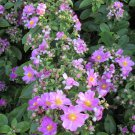 Scarce Ora Pro Nobis Rose Cactus Pereskia grandiflora - 5 Seeds