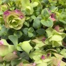 Ornamental Oregano Origanum rotundifolium - 15 Seeds