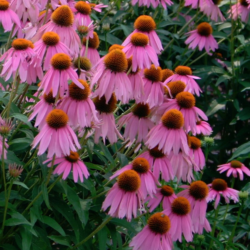 Organic Purple Coneflower Herb Echinacea Purpurea - 200 Seeds