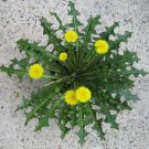Wild Endive Edible Dandelion Taraxacum Officinale - 120 Seeds