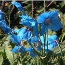 Himalayan Blue Poppy Meconopsis betonicifolia - 25 Seeds