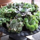 Mixed Cactus Hen and Chick's Houseleek Succulents Sempervivum - 50 Seeds
