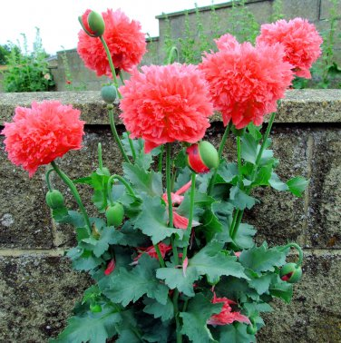 Mixed Seuss Inspired Peony Poppy Papaver Paeoniflorum - 100 Seeds