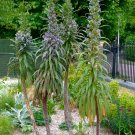 Seuss Inspired Rare Blue Tree Echium Giant Viper's Bugloss Echium pinnifolium - 10 Seeds