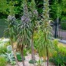 Seuss Inspired Rare Blue Tree Echium Giant Viper's Bugloss Echium pinnifolium - 10 Seeds