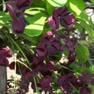 Mitsuba Akebi Purple Chocolate Vine Akebia trifoliata - 8 Seeds