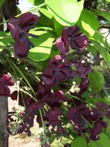 Mitsuba Akebi Purple Chocolate Vine Akebia trifoliata - 8 Seeds