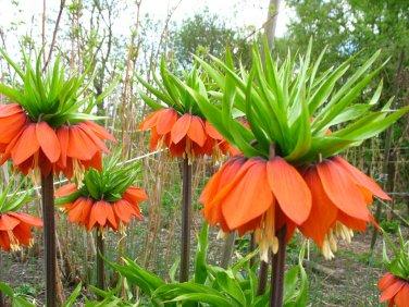 Rare Crown Imperialis Fritillaria imperialis - 5 Seeds