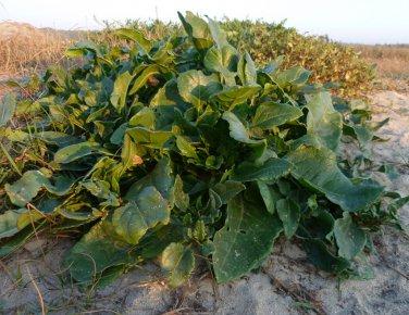 Wild Sea Beet Sea Spinach Heirloom Beta vulgaris maritima - 10 Seeds