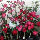 Mixed Desert Rose Adenium Natural Bonsai - 5 Seeds