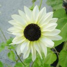 Sale! Unique 'Italian White' Sunflower Helianthus 2 for 1 - 50 Seeds