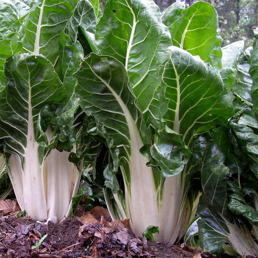 Sale! Organic Heirloom Leaf Beet Swiss Chard White Beta vulgaris 2 for 1 - 200 Seeds