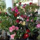 Mixed Desert Rose Adenium Natural Bonsai - 10 Seeds